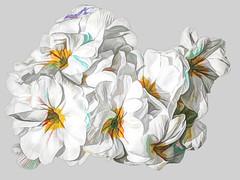Blossom -38- (Jan 1147) Tags: blossom bloei bloem bloemen flower flowers processing bewerking depinte belgium wit white
