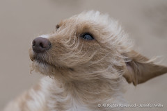 Pimi and Polo-8 (photojen10) Tags: dogs rescuedogs whiterocksbeach portrush coantrim windyday