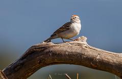 SPRING ARRIVAL (Sandy Hill :-)) Tags: chippingsparrow sparrows birds perchingbirds migratingbirds birdsofnorthamerica birdsofvancouverisland birdsofcanada spring sunny sandyhillphotography nature