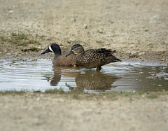 Blue winged teal (carpingdiem) Tags: birds indianapolis spring bluewingedteal