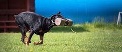 Heavy fetch (zola.kovacsh) Tags: outdoor animal pet dog dobermann doberman pinscher ipo schutzhund grass meadow