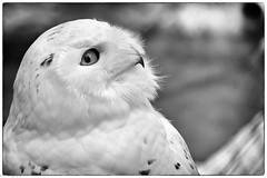 Hedwig (fhenkemeyer) Tags: snowyowl bird animal zoo hedwig
