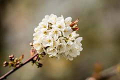 _DSC0042  - Spring (SWJuk) Tags: swjuk uk unitedkingdom gb britain england lancashire burnley home flower bloom wildcherry bokeh shrub tree 2018 apr2018 spring nikon d7100 nikond7100 nikkor70200mm rawnef lightroomclassiccc
