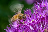 Honeybee on allium (Gerald H.) Tags: allium bee biene insect insekt purple lila macro closeup