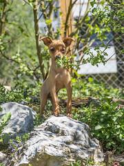 Et soudain, surgit un petit diablotin... (Philippe Bélaz) Tags: orféo pragois ratierdeprague animal animaux animauxdecompagnie chien chiots famille printemps