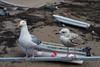 20180512_120223_0315In Ullapool5_c1 (Paul at The Hug) Tags: scotland ullapool gulls