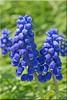 Grape hyacinths (atranswe - working in the garden) Tags: dsc4245 sweden sverige västernorrland ångermanlalnd väja n62°5818e17°42 garden trädgård blå blue grapehyacinths pärlhyacinter muscaribotryoides flower plant blomma out outside ute atranswe flowerwatcher