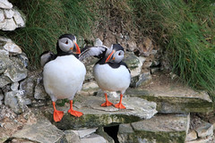 Puffins (Karen Roe) Tags: bemptoncliffs bempton coast cliff naturereserve nature reserve yorkshire county england britain uk unitedkingdom greatbritain gb canoneos760d canon 760d 150600mm sigma zoom contemporary wildlife may 2018 peaceful quiet tranquil outside spring weather season camera photography photograph photographer picture image snap shot photo karenroe female flickr visit visitor rspb royal society protection birds member sea coastal