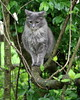 Sally reaches new heights (Judecat (embracing Spring!)) Tags: feline longhairedgreycat sally catintree