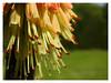 "Kniphofia uvaria ""Royal Standard"" (Vulpe Photographie) Tags: fleur flower nature naturelovers macro macrophoto macrophotography plante p900 nikon coolpix naturephotography photographie photo plant bestflowers beautifulflowers normandy normandie france"