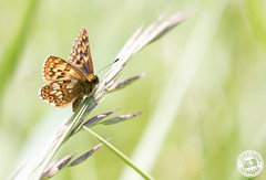 Duke of Burgundy - Hamearis lucina (Lauren Tucker Photography) Tags: butterfly closeup dukeofburgundy macro nature rodboroughcommon wildlife hamearis lucina uk south west england cheddar somersetwild wildfowl reserve colour 2018 may spring summer canon 7d slr camera photographer photography photograph photo image picture