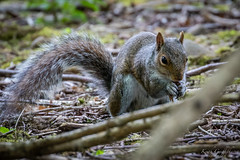 Squirrel (Photography - KG's) Tags: bird birds squirrel animals wildlife nature brandonmarsh reserve