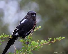 Magpie Shrike (leendert3) Tags: leonmolenaar southafrica krugernationalpark wildlife nature birds magpieshrike coth5 ngc npc