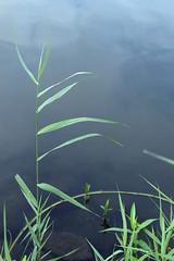 (turquoise monkey) Tags: pentaxspotmaticf takumar55mmf18 fujipro400 vegetation grass water sky