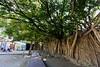 Anping Tree House (安平樹屋) (YY) Tags: tainan anping anpingtreehouse 安平樹屋 台南 安平 台灣 taiwan banyantree trees