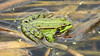 Rã-verde (saraluisamoreira) Tags: ra raverde animais pau pauldetornada anfibios