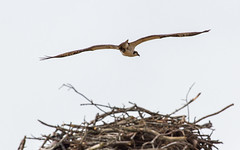 Wings Above The Nest (John Kocijanski) Tags: osprey bird birdofprey raptor animal wildlife nest nature canon70300mmllens canon7d bokeh