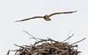 Wings Above The Nest (John Kocijanski) Tags: osprey bird birdofprey raptor animal wildlife nest nature canon70300mmllens canon7d bokeh