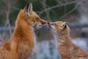 IMG_2953 red fox (starc283) Tags: starc283 wildlife flickr flicker fox kits red canon 7d nature natures finest nebraska watcher outdoors outdoor predator prairie kit foxes smug bug animal grass