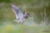 Le vol du Sylvain (Jacques GUILLE) Tags: vol domainedesoiseaux oiseau chevaliersylvain 09 ariège charadriiformes mazères scolopacidés tringaglareola woodsandpiper bird occitanie france fr