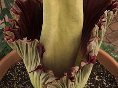 Corpse flower opening (Distraction Limited) Tags: tucsonbotanicalgardens tucsonbotanical botanicalgardens gardens tucson arizona tbg20180423 corpseplant amorphophallustitanum titanarum carrionflower corpseflower amorphophallus flowers butterflymagic butterflygreenhouse coxbutterflyorchidpavilion coxbutterflyandorchidpavilion greenhouses