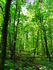 Magical Forest (The-Beauty-Of-Nature) Tags: spring april nature photography germany deutschland plants pflanzen green grün lush sunny sun sonne sonnig warm