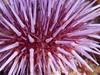 Strongylocentrotus purpuratus (Purple Sea Urchin) - Olympus E-520 - Zuiko ED 50mm f/2 (divewizard) Tags: olympus e520 dslr olympuse520 zuiko ed 50mm f2 zd macro pte05 inon z240 pacific ocean sea underwater marine water coldwater reef santamiguelisland santabarbaracounty california santamiguel island crookpoint channelislandsnationalpark channelislands nationalpark night strongylocentrotuspurpuratus purpleseaurchin purple seaurchin urchin