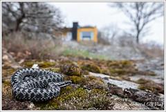 Vipera berus (Thor Hakonsen) Tags: viperaberus europeanadder viper hoggorm huggorm viperidae adder reptile reptiles