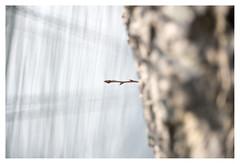 Tree reaching out to fence (leo.roos) Tags: fence hek tree boom bark bast portablemetalfence streetbarrier a7rii meyertrioplan5028 cmount meyertrioplanf28f5cm aprilfoolishness2018 dyxum challenge darosa leoroos