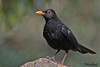 BLACKBIRD // TURDUS  MERULA  (26cm) (tom webzell) Tags: naturethroughthelens