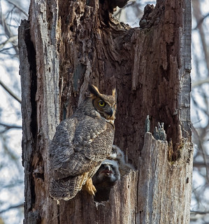 Great Horned Owl with 2 babies