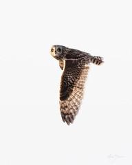 Short-eared Owl (m_Summers) Tags: buho spring greatsaltlake owl nature shortearedowl marksummers wildbird wild wildlife flight seo bif utah outdoors nonbaited asioflammeus birdinflight birdofprey bird