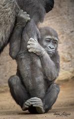 Leslie (ToddLahman) Tags: leslie westernlowlandgorilla gorilla outdoors portrait mammal female beautiful sandiegozoosafaripark safaripark canon7dmkii canon canon100400 escondido s