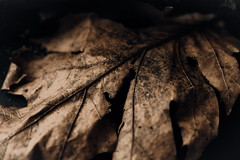 Fallen Leaf (1) (ClvvssyPhotography) Tags: leaf fallen fall withering weather nature colorful ground texture