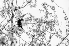 Anglų lietuvių žodynas. Žodis cormorant reiškia n jūrvarnis, kormoranas lietuviškai.