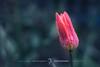 雨降りに独り // stand alone in the rain. (zwei_kilo_gramm) Tags: sapporo 5月 spring tulip nature flower チューリップ 札幌 春 花 花・草木 hokkido そこらへん 自然 日本 hokkaido may japan 北海道
