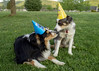 Birthday Kisses (Angel_Photos) Tags: puppy dog birthday kisses yard grass tree fence hats love cute sweet party touch animals pet photo fun