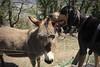 Nasco et Manu (bulbocode909) Tags: suisse ânes chiens animaux nature printemps montagnes arbres