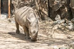 Face to face with a Rhinoceros at the Philadephia Zoo (Jersey Camera) Tags: rhino rhinoceros zoo philadelphiazoo whiterhinoceros southernwhiterhinoceros tony hirbivore ungulates ceratotheriumsimumsimum rhinocerotidae tonytherhino