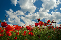 Summer (Pásztor András) Tags: nature field summer clouds sky poppy flover red blue white warm medow dslr nikon d5100 andras pasztor photography 2018 hungary