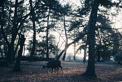 (Hsien hui Tsai) Tags: film japan filmphotography photography nikon nikonem em kodak kodakcolorplus deer nippon nara animal tree travel 2018