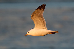 Ring-billed Gull BIF...6O3A9299A (dklaughman) Tags: bombayhooknwr delaware ringbilled gull