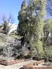 Variuos trees including tall green yew, Royal Botanical  Gardens, Winter 2018 (d.kevan) Tags: parksandgardens botanicgardens royalbotanicalgardens madrid spain plants shrubs flowers everlasting