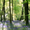 Impressions - Bluebells & Trees (bella_blue_star) Tags: bluebells killinthomas woodland wood ireland kildare