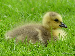 Cuteness alert..say aaah! (robbie20161) Tags: animals birds geese canadagoose brantacanadensis gosling chick wildlife nature countryside fluffy cute youngster