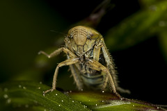 135/365  Leafhopper (Cicadellidae)