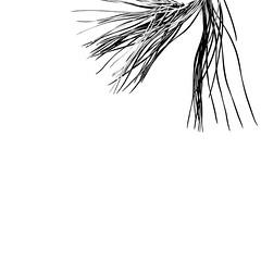 Pain parasol - Umbrella pine (Charlotte P.Denoel) Tags: contraste contrast detail minimalist minimalism minimalisme umbrellapine pinparasol leaf leaves feuilles tree arbre nature bw blackandwhite nb noiretblanc ombre