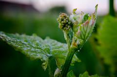 vignes-11 (zol-photo) Tags: vigne vert macro pousse raisin