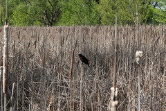 Redwing blackbird in the reeds
