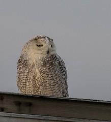snowyowl-0626 (h.redpoll) Tags: birdwatcherssupplyandgift newburyport snow snowyowl trailer